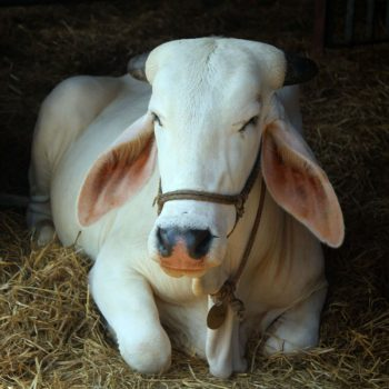 maintain-cow-for-a-year